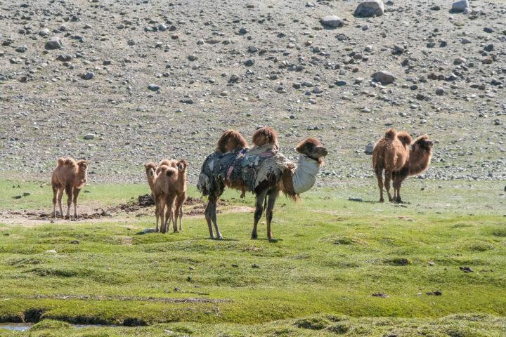 8. Верблюды после зимы
