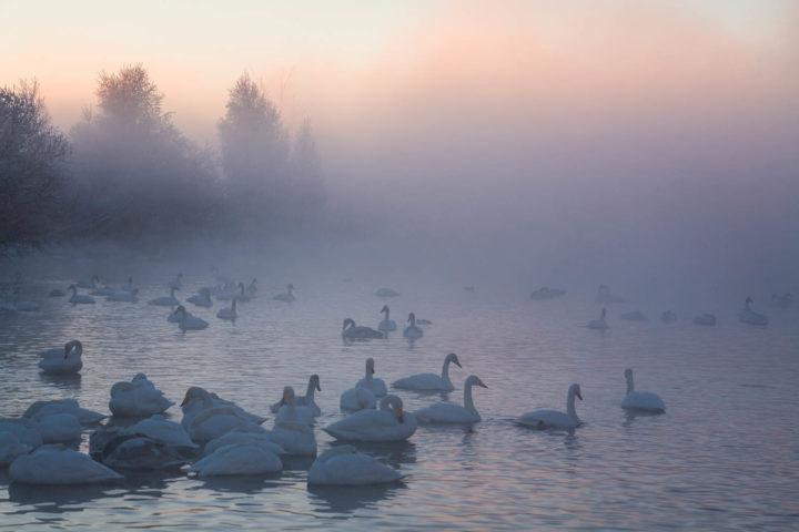 1. Лебеди на озере
